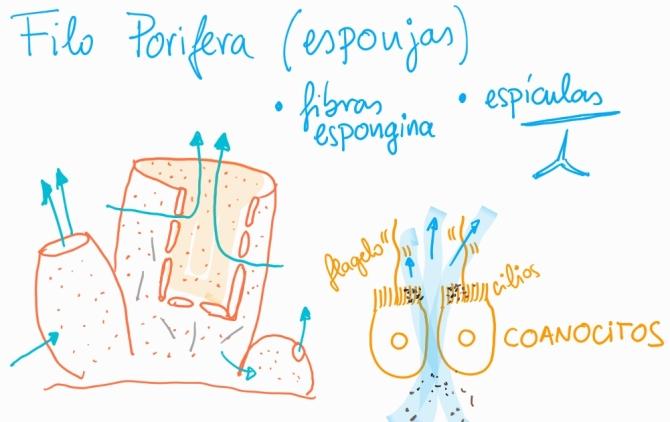 Dibujo filo porifera