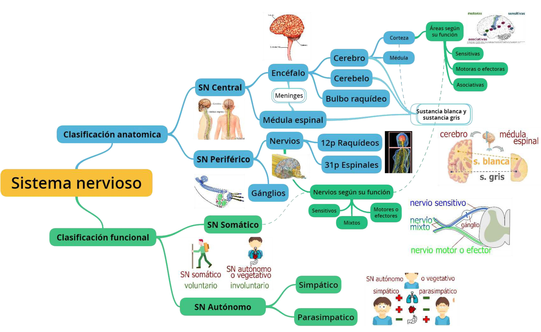 Sistema nervioso _ Mapa Mental