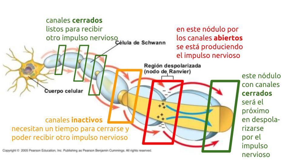 Transmisión del impulso nervioso 06